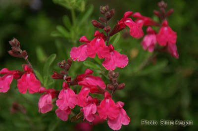 מרוות גרג 'פורמנס רד' • Salvia greggii 'Furman's Red'