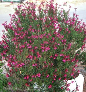 Salvia greggier