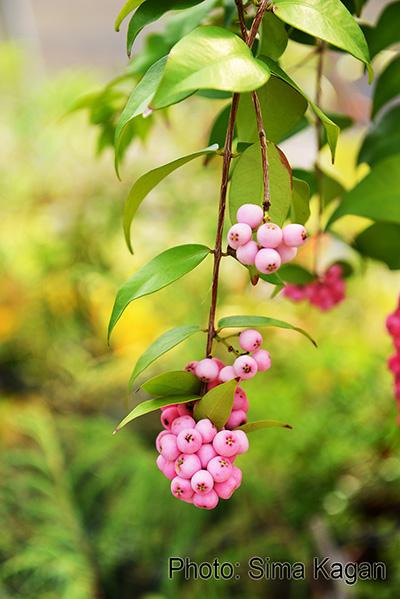 Syzygium 'Cascade'