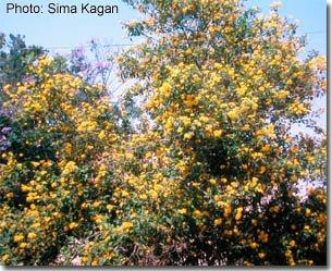 Tecoma castaneifolia 'Hgar'