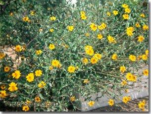 Wedelia hispida