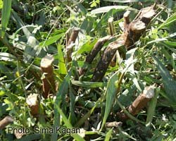 לצורך הטיפול בגרלון גוזמים את נוף השיטה עד לבסיס הצמח