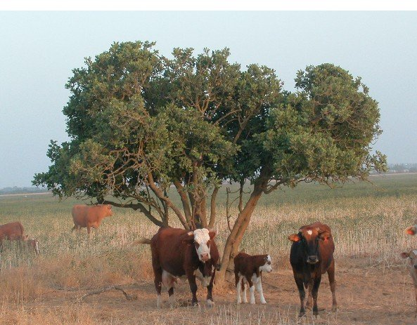 Cattle under tree shade