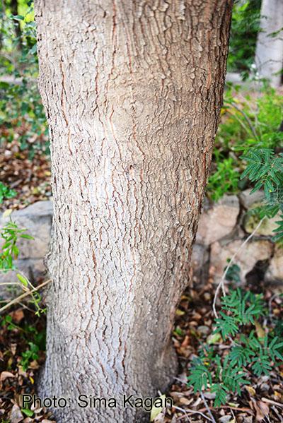 שזיף ליאוני  Prunus lyonii